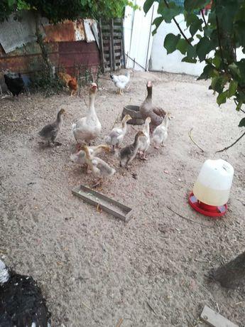 Vendo gansos com 2 meses