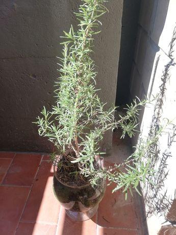 Vendo planta  alecrim