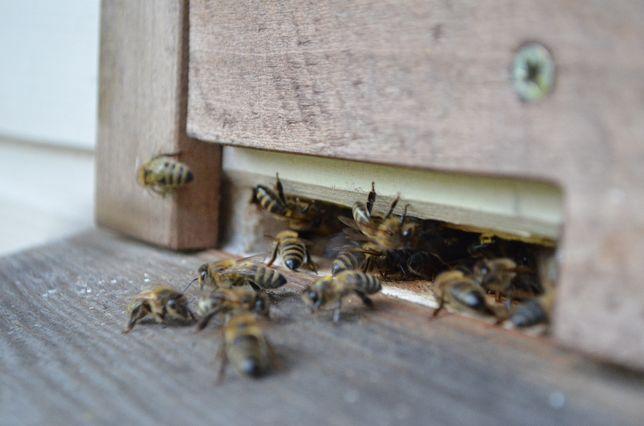pszczoły rój, rójka