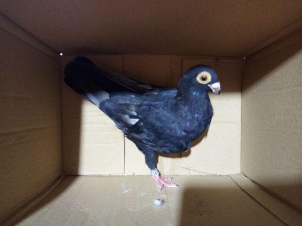 Brodawczak brodawczaki gołębie ozdobne ptaki