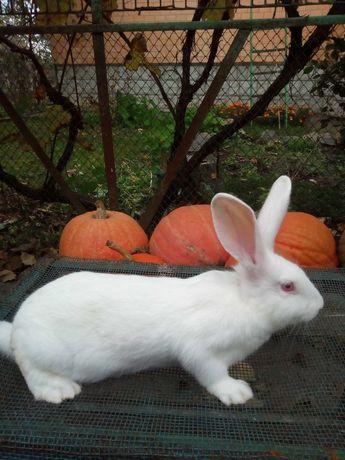 Обміняю кролі термондські білі на овес