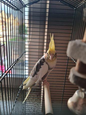 Sprzedam młodą papugę
