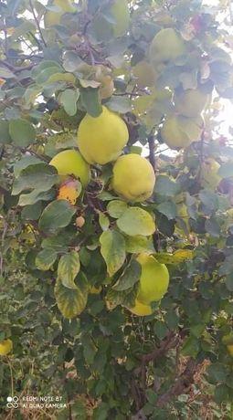 Marmelos na árvore