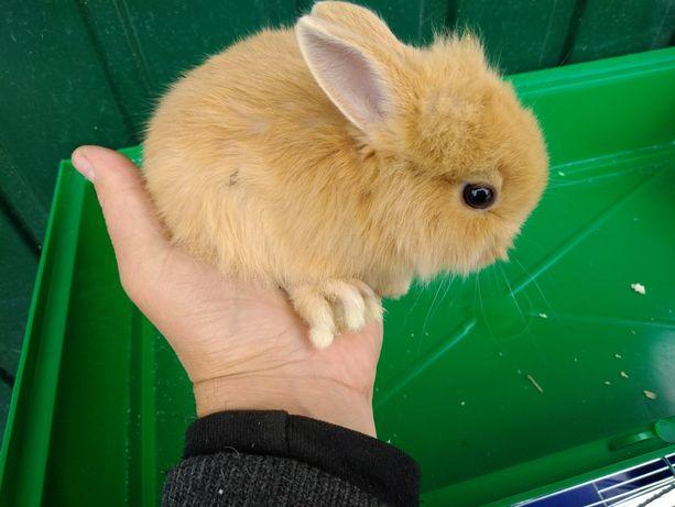 Декоративные Крольчата миники