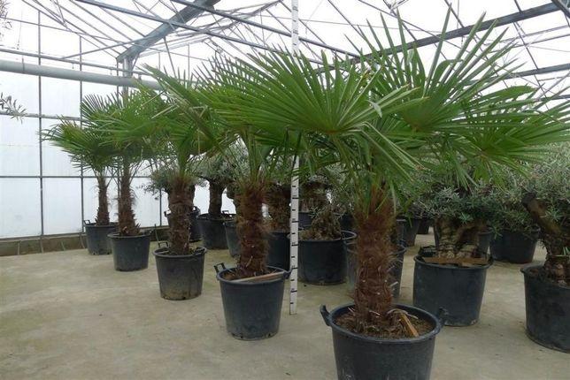 Пальмы Трахикарпус .Морозостойкие Фото № 2-7.