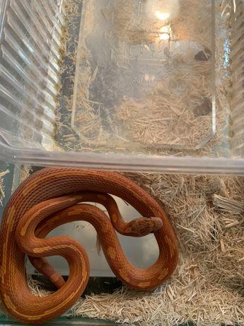Wąż zbożowy  -Tina zoo