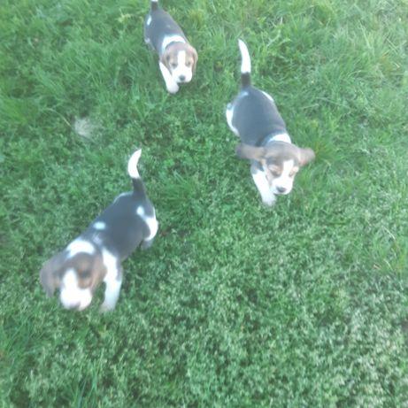 Za darmo szczeniaczki beagle