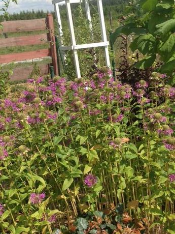 Pysznogłówka fioletowa sadzonka