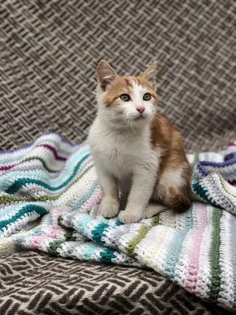 Красивый котенок, мальчик 2 месяца