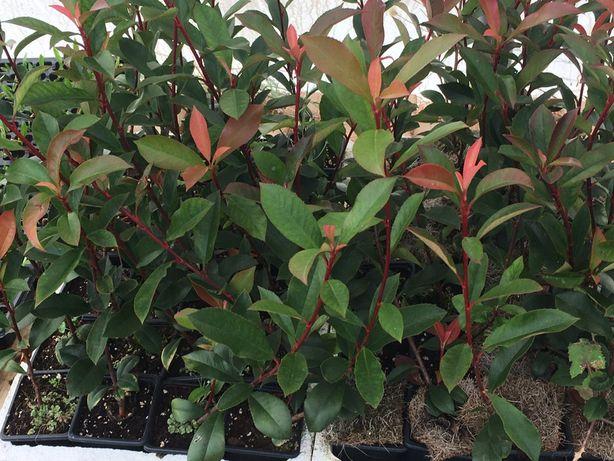 Photinias Red Robin
