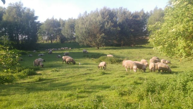 Jagnięcina ekologiczna, jagnięta