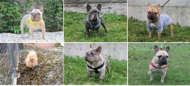 Buldogi Francuskie, Pomeranian - Dorosłe Psy