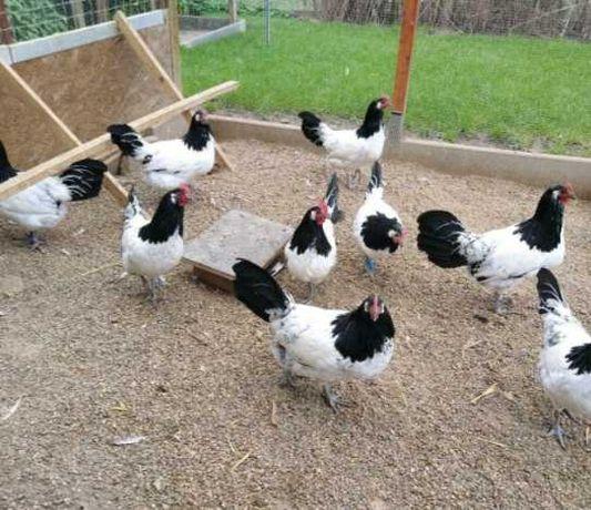 Jajka lęgowe kury rasy lakenfelder