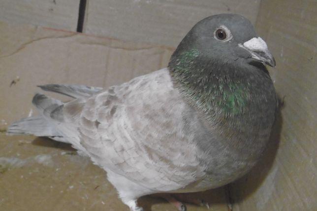 Gołębie Pocztowe Samczyk OPAL PL 2020 ROK