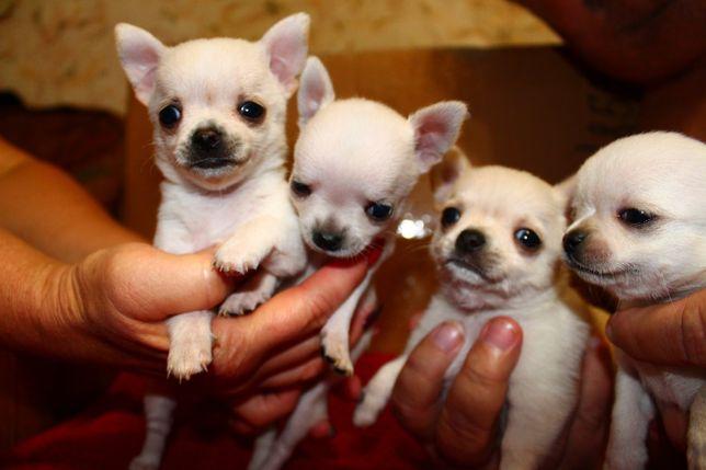 Продаём 2 щенков Чихуа-хуа Мальчик и Девочка 4 месяца
