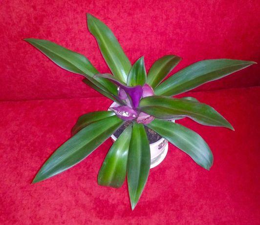 Продам вечно зелёный цветок рео, без горшка, цветет круглый года