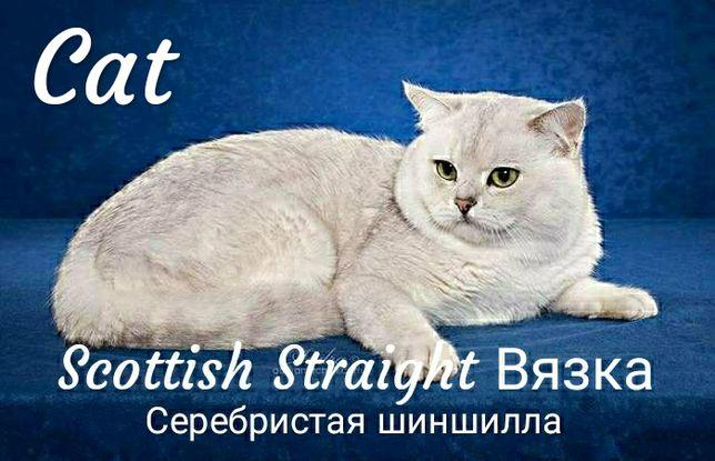 Вязка. Scottish Straight. Шотландский кот.