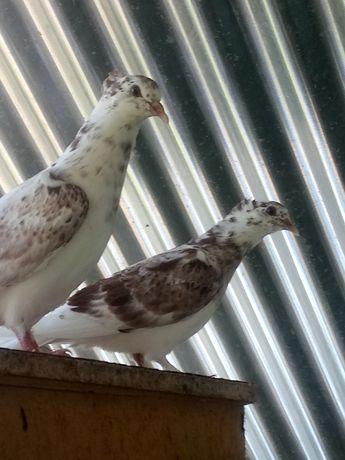 Pombos ornamentais