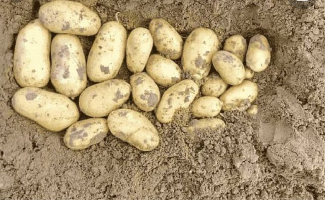 Продам картофель посадочный и товарный