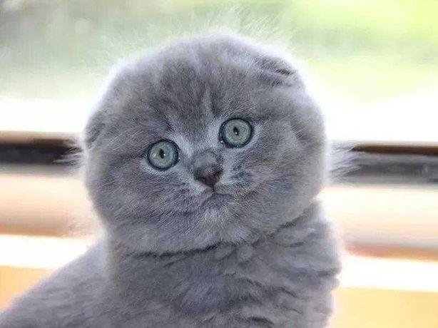 клубные Шотландские котята, вислоушка Одесса