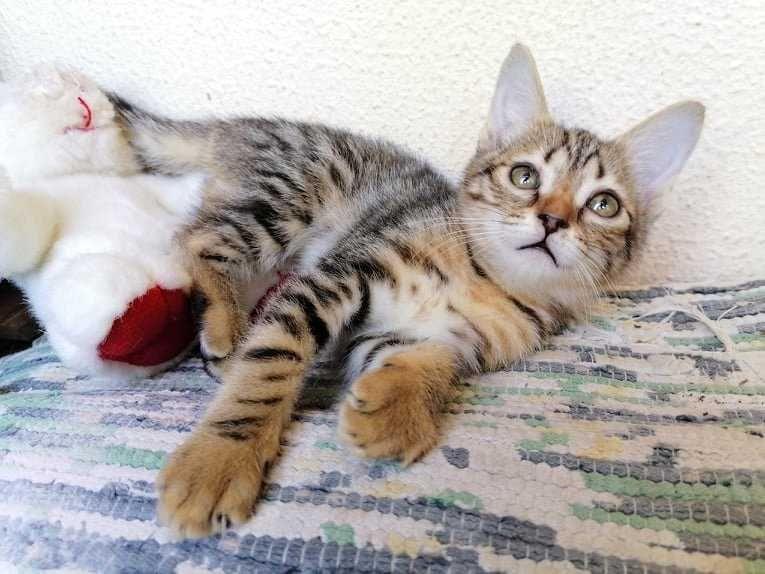 LUCA - Gatinha Bebe para Adoção