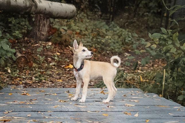 Крохотная собачка 3 месяца, 2кг