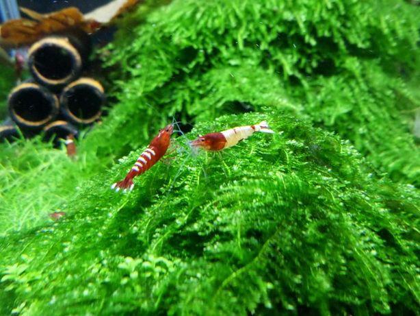 Krewetki Caridina TaiTibee Pinto Red
