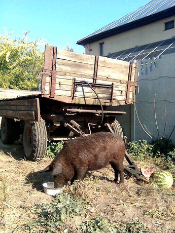 Свинья свиноматка