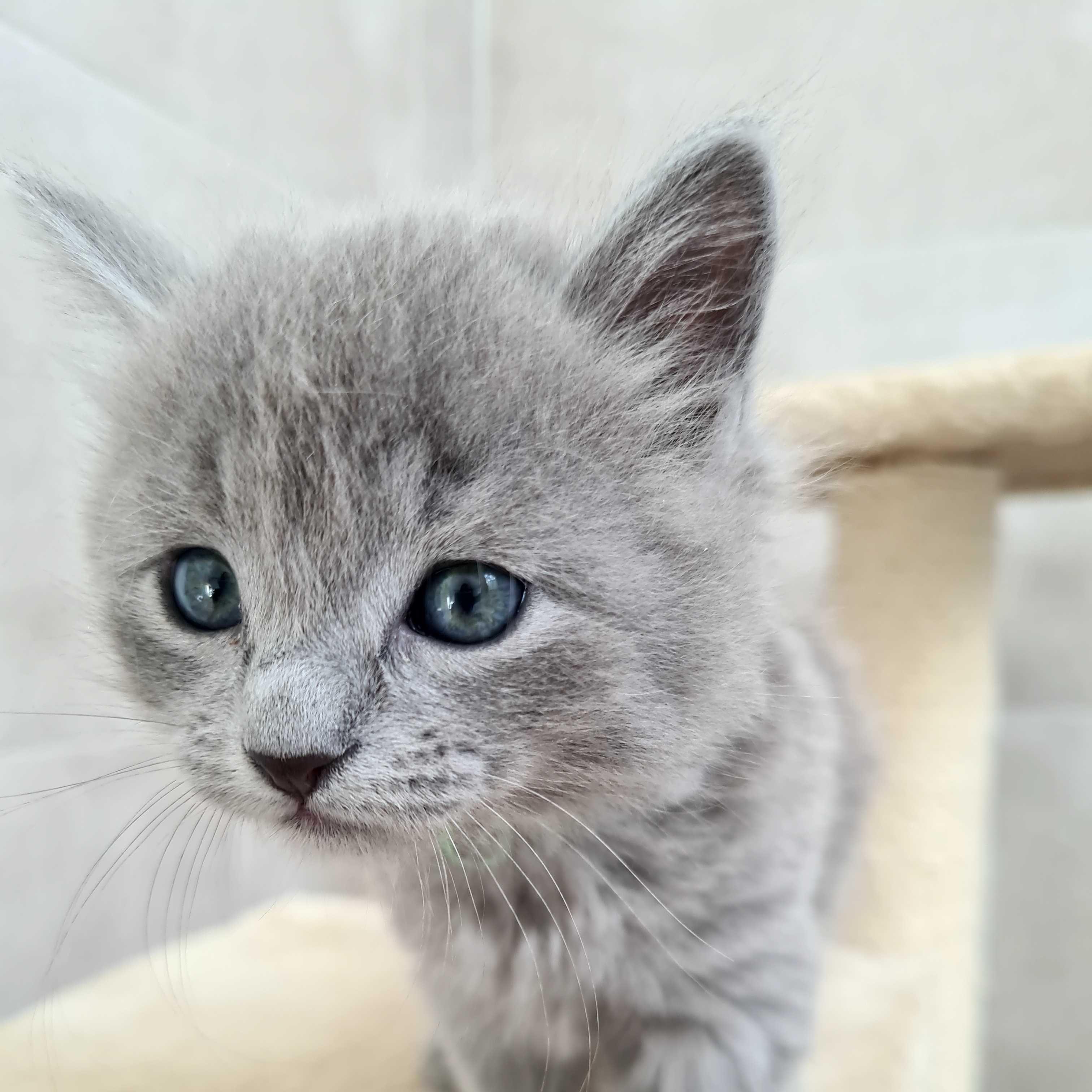 Kocięta Nebelung długowłose rzadkie