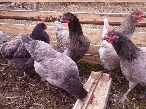 Kokoszki kury Wysyłka kaczki mega mięsne Eko drób świata