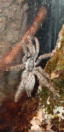[PTASZNIK] Heteroscodra maculata L1 [Poznań]