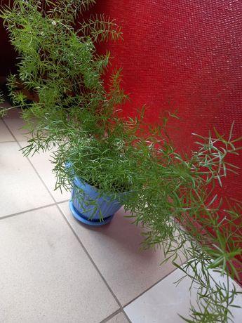 Аспарагус Шпренгера кімнатна рослина
