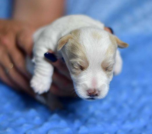 Jack Russell Terrier szczeniak chłopiec ZKwP FCI rodzice przebadani!