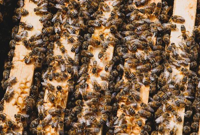 Pszczoły, Zdrowe Rodziny Pszczele