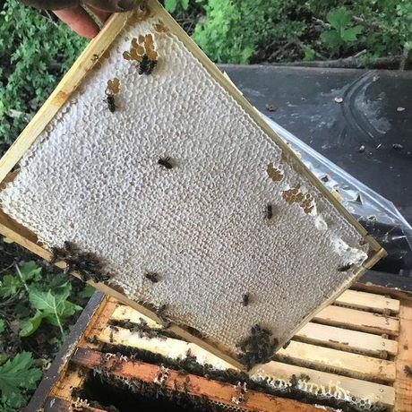 Карника Зингер Ф-1. (Австрия) Пчеломатки