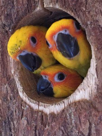 Попугайчик аратинга - ара в миниютюре