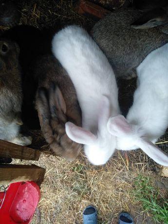 Продаються кролі(2, 3, 4,5 місяці)