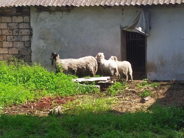 Продам овець