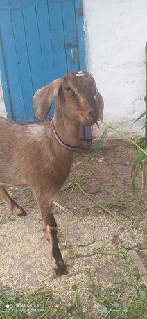 Продам козу 73% нубійка