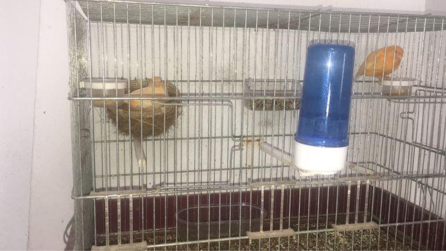 Canarios casal salmao