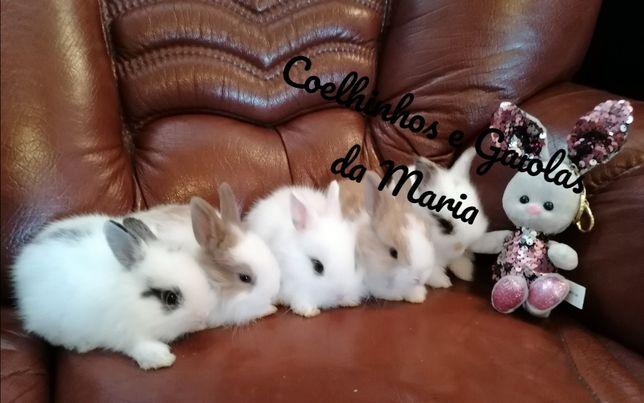 KIT Coelhos Anões Bebés, Teddy, Mini Toy, Mini Holandês, Ãngora