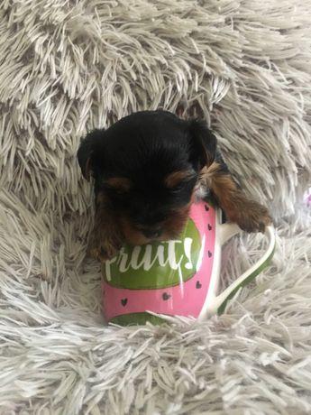 York terrier miniaturka z rodowodem