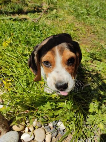 Vendo Beagle 3 meses