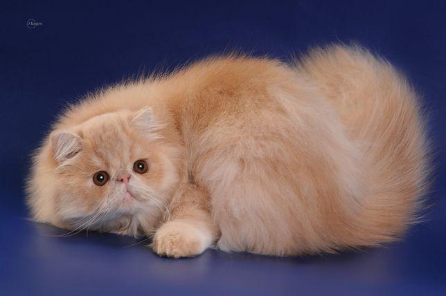 Персидский кот , Чемпион Украины , предлагает вязку.
