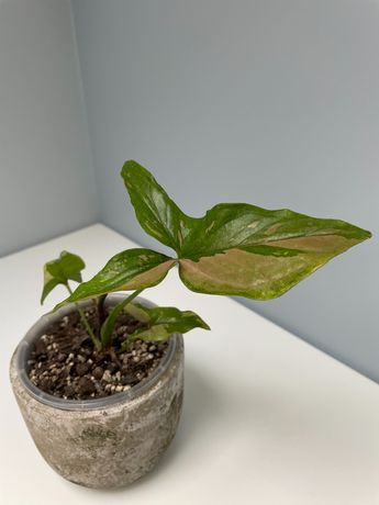 Syngonium Red Spot i Philodendron atabapoense!