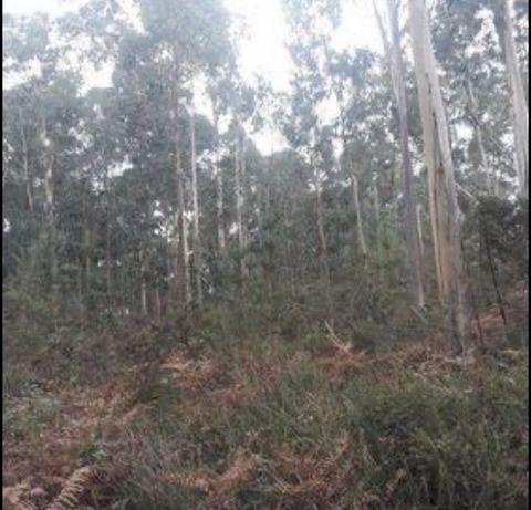 Bouça terreno 5 hectares eucaliptos balugaes barcelos