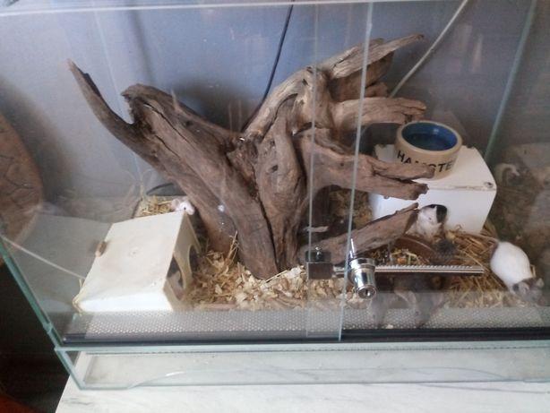 Myszki oseski