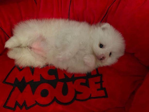 Мишка померашка малютка