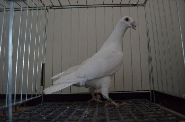 Gołębie Pocztowe Staropolskie Samiec