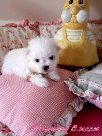 Piesek Maltańczyk z Rodowodem